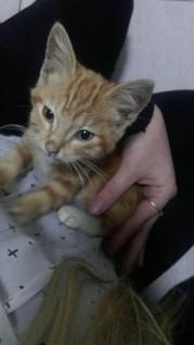 Found Cat - Ginger Kitten - CBD