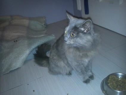 Found Cat - Grey & Brown - Pinelands3