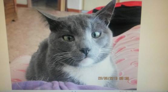 Lost Cat - Tom (Grey & White) - Manor Gardens, Glenwood, KZN