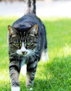 Lost Cat - Izzy (Grey Tabby) - Fresnaye