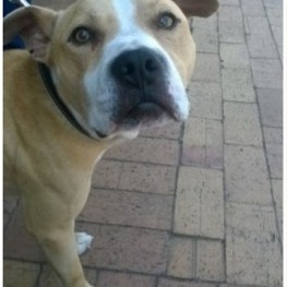 Bruno (pittie - Cape Town)