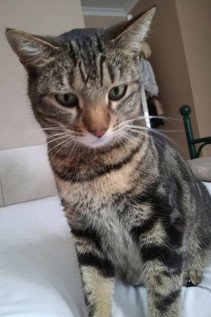Willow (Tabby) - Goodwood