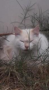 Morpheus (White & Ginger) - Parklands