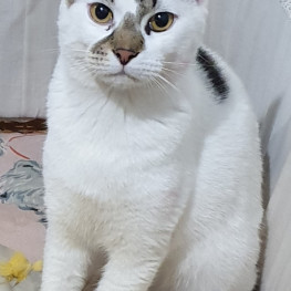 Tony (White & Tabby) - Musgrave